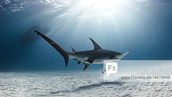Unterwasseransicht des über den Meeresboden schwimmenden großen Hammerhais  Alice Town  Bimini  Bahamas
