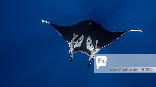 Underwater view of Giant Manta Ray near the pinnacle of roca partida  Socorro  Baja California  Mexico