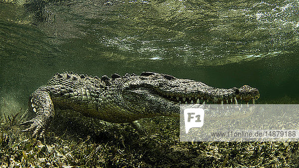 American Saltwater Crocodile on the atoll of Chinchorro Banks  low angle view  Xcalak  Quintana Roo  Mexico
