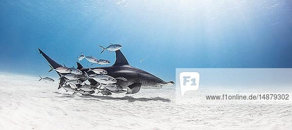 Grosser Hammerhai im Fischschwarm  Alice Town  Bimini  Bahamas