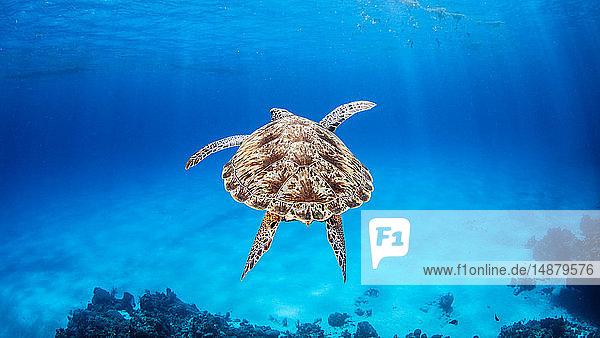 Green Sea Turtle  Palancar Reef  Cozumel  Quintana Roo  Mexico