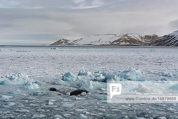 Packeis  Wahlenberg-Fjord  Nordaustlandet  Svalbard  Norwegen