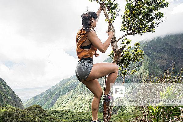 Wandernder Kletterbaum im Regenwald  Iao Valley  Maui  Hawaii