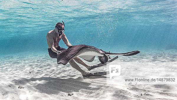 Unterwasseransicht eines südlichen Stachelrochens  der mit einem männlichen Schnorchler über dem Meeresboden interagiert  Alice Town  Bimini  Bahamas