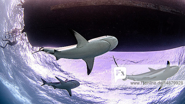 Underwater view of three reef sharks  Alice Town  Bimini  Bahamas