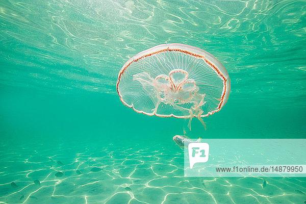 Mondqualle mit Babyfischen zum Schutz gegen Raubtiere
