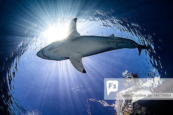 Unterwasseraufnahme des Weißen Haies  Niedrigwinkelaufnahme  Guadalupe  Mexiko