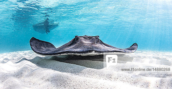 Underwater view of southern stingray over seabed  Alice Town  Bimini  Bahamas