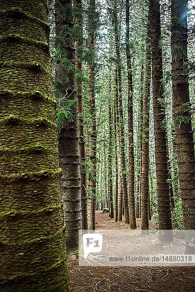 Gerade hohe Bäume auf dem Kuilau Ridge Trail  Kauai  Hawaii