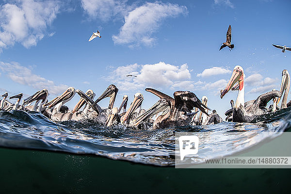 Herden brauner Pelikane  die sich von Fischabfällen ernähren