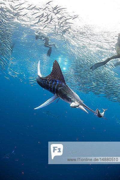 Gestreifter Marlin auf der Jagd nach Makrelen und Sardinen  fotografiert von Tauchern