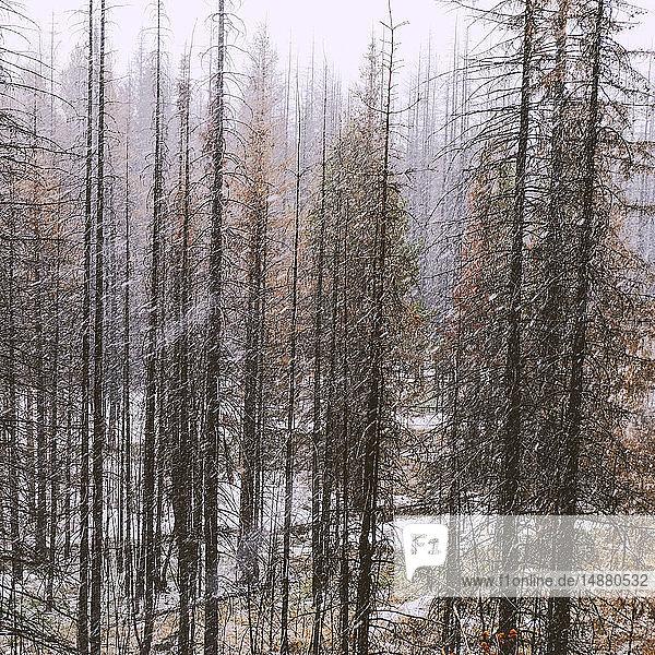 Forest in winter  Ural  Sverdlovsk  Russia