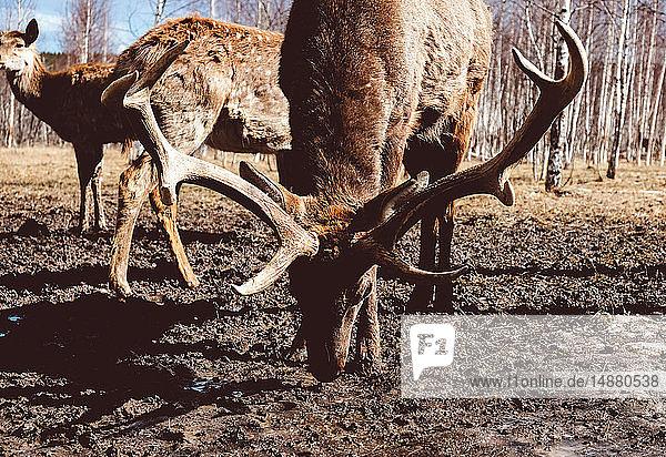 Herd of deer grazing in forest  Ural  Sverdlovsk  Russia