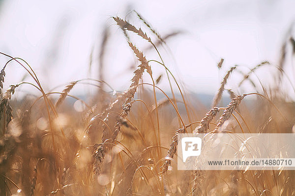 Weizenähren im Weizenfeld  Nahaufnahme