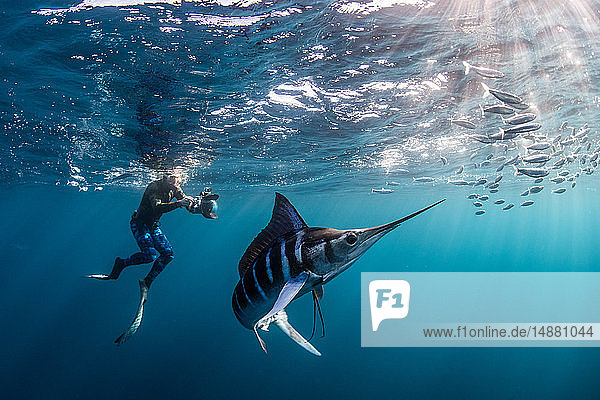 Striped marlin hunting mackerel and sardines  photographed by diver