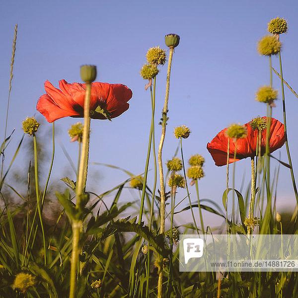 Feld mit rotem Mohn vor blauem Himmel,  Nahaufnahme