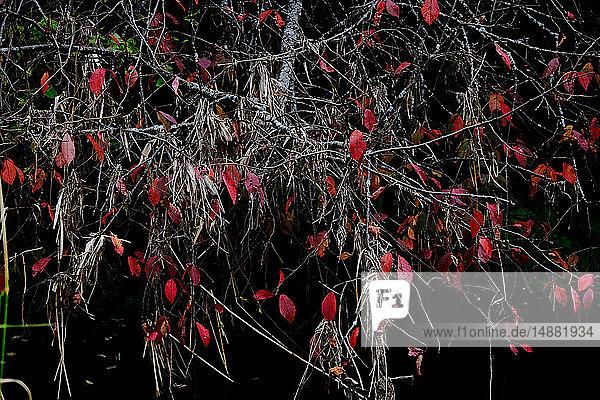Last remaining leaves on bare tree