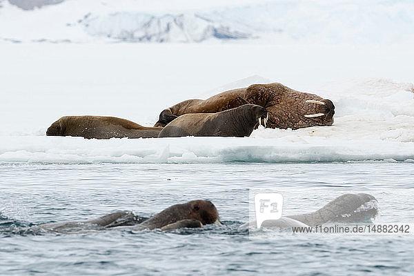 Atlantische Walrosse (Odobenus rosmarus)  die im Ozean und auf Eisbergen schwimmen  Vibebukta  Austfonna  Nordaustlandet  Svalbard  Norwegen