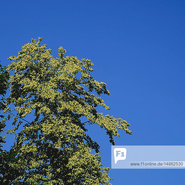 Detail of green tree foliage against blue sky  low angle view