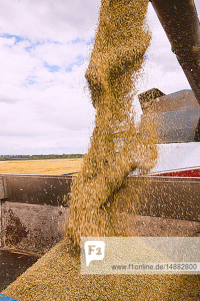 Cereal grain pouring from combine harvester into truck  detail