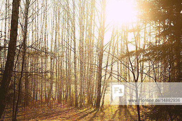 Sonnenbeschienener Wald mit kahlen Bäumen