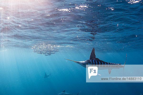 Striped marlin hunting mackerel and sardines