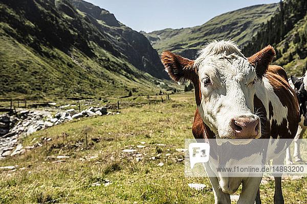 Rinder im Bergtal  Bad Hofgastein  Salzburg  Österreich