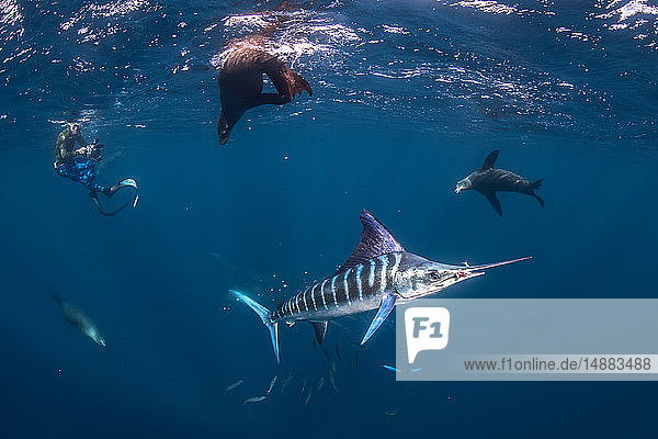 Striped marlin hunting mackerel and sardines  joined by sea lions  photographed by diver