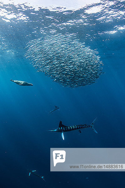 Striped marlin hunting mackerel and sardines  joined by sea lion