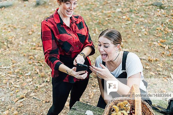 Freunde lachen beim Kastaniensammeln über Textbotschaften  Rezzago  Lombardei  Italien