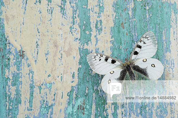 Schmetterling auf abblätterndem türkisfarbenen Holz