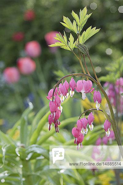 Leier-Blume im Garten