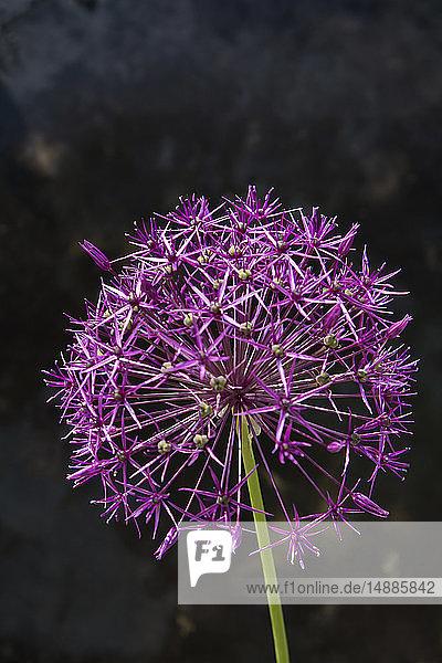 Violetter Blütenkopf einer Riesenzwiebel
