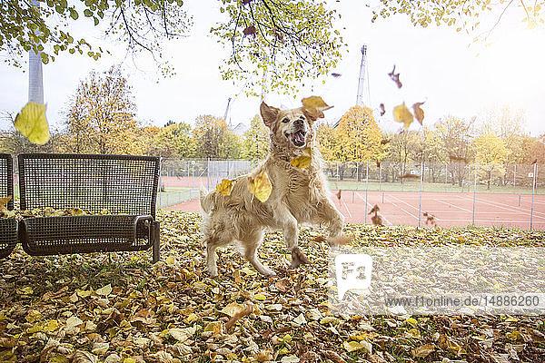 Golden Retriever spielt mit Herbstblättern