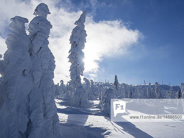 Deutschland  Naturpark Oberer Bayerischer Wald  Winterlandschaft mit schneebedeckten Nadelbäumen