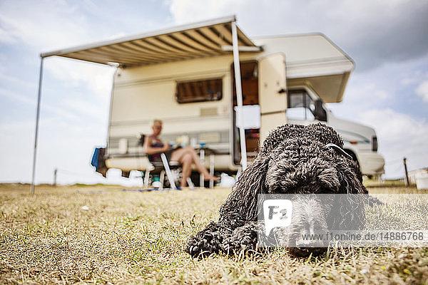 Pudel entspannt auf dem Campingplatz