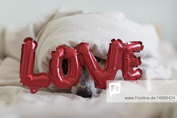 Hund im Bett mit Liebesfolienballon  unter Decke