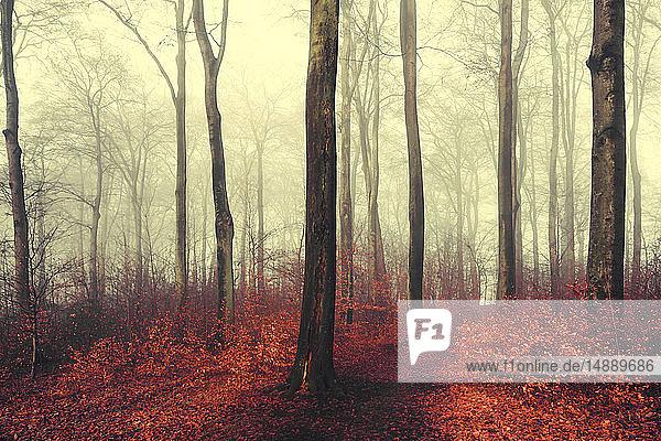 Herbstwald  rote Blätter