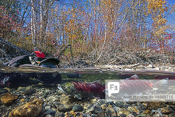 California,  British Columbia,  Adams River,  Photographer photographing spawning sockeye salmons,  Oncorhynchus nerka