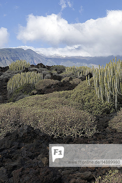 Spain  Tenerife  Malpais de Guimar  cacti growing in volcanic landscape