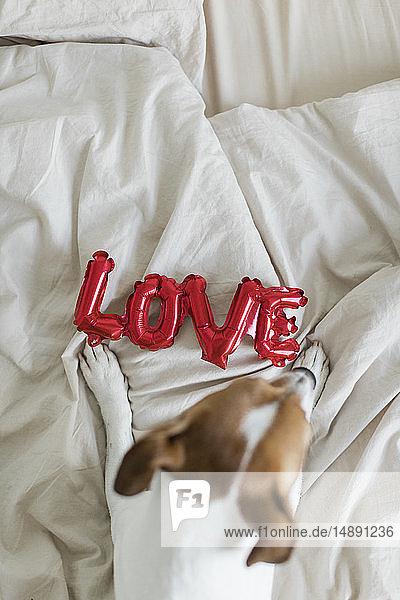 Hund im Bett mit Liebesfolienballon  von oben