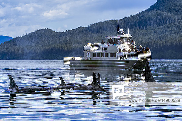Wildlife sightseeing tour watches Orca whales (Orcinus orca) near Juneau  Inside Passage  Southeast Alaska; Alaska  United States of America