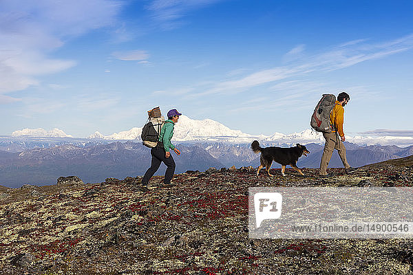 Man and woman backpacking on the tundra with dogs on the Kesugi Ridge Trail  Denali State Park  Southcentral Alaska  USA