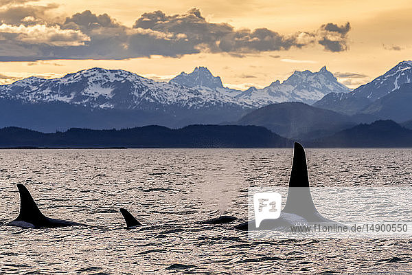Orca whale (Orcinus orca) pod in Lynn Canal at sunset with Eagle Glacier and Coast Range in the background  Southeast Alaska; Alaska  United States of America