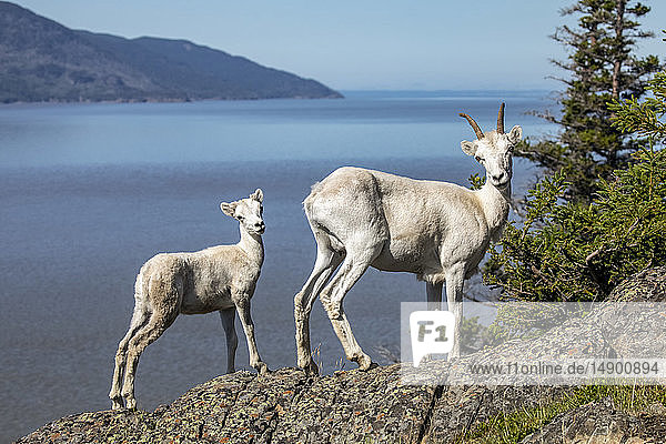 Dall sheep (Ovis dalli) ewe and lamb look at photographer from a rocky ledge overlooking Turnagain Arm in summer outside Anchorage  South-central Alaska; Alaska  United States of America