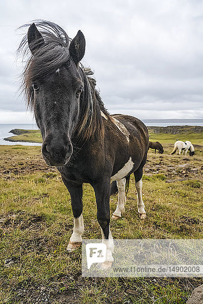 Icelandic horses in the natural landscape; Iceland