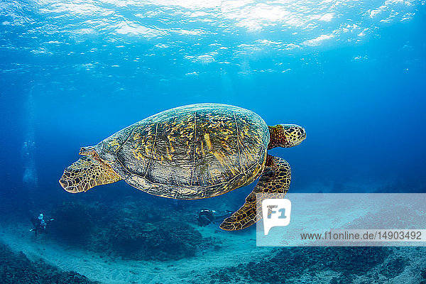 Green sea turtle (Chelonia Midas) and divers; Hawaii  United States of America