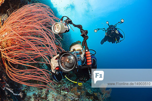 Two divers shooting digital SLRs line up on whip coral on an Indonesian reef; Indonesia