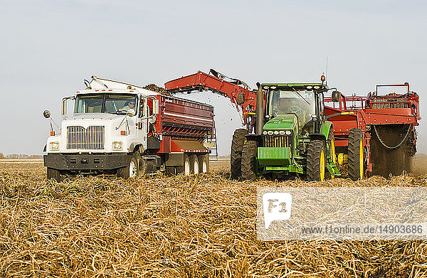 A potato digger harvests and loads a truck with potatoes  near Holland; Manitoba  Canada