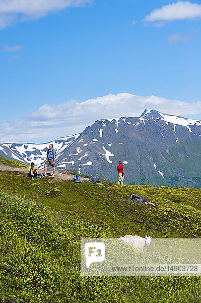 Tourists at a lookout on the Harding Icefield Trail in Kenai Fjords National Park are watching a band of mountain goats (Oreamnos americanus) on a sunny summer day in South-central Alaska; Alaska  United States of America